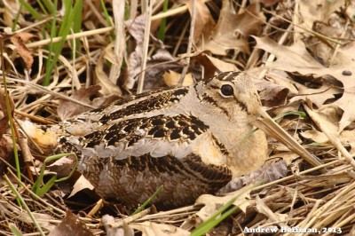 A nesting female woodcock (Photo by Andrew Hoffman on Flickr, Creative Commons license)