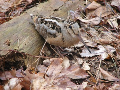 A woodcock (Photo by Don on Flickr, Creative Commons license)