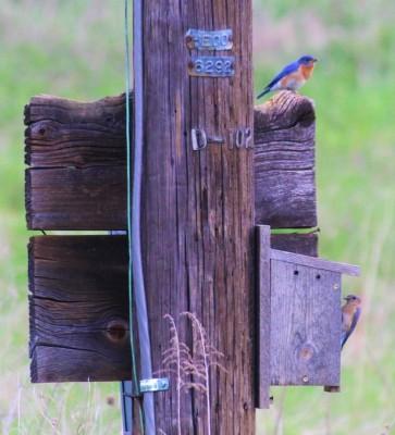 Bluebirds on power pole box (Photo by Mark Bonta)
