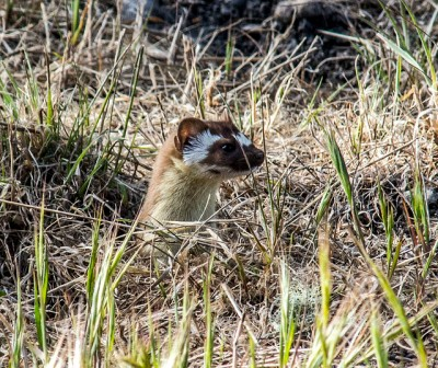 A long-tailed weasel (Photo by Jerry Kirkhart on Flickr, Creative Commons license)