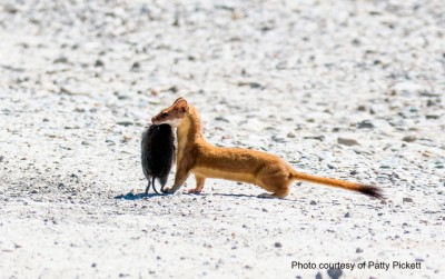 A long-tailed weasel carrying a vole Photo by FWC Fish and Wildlife Research Institute on Flickr, Creative Commons license)