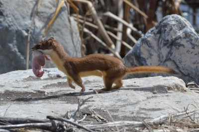 An adult weasel carrying its infant (Photo by USFWS Mountain-Prairie on Flickr, Creative Commons license)