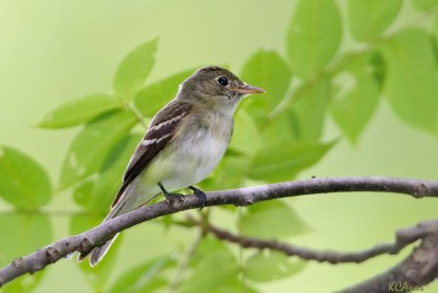 An Acadian flycatcher (Photo by Kelly Colgan Azar on Flickr, Creative Commons license)