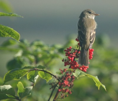 An alder flycatcher on elderberry (Photo by Caleb Stemmons on Flickr, Creative Commons license)