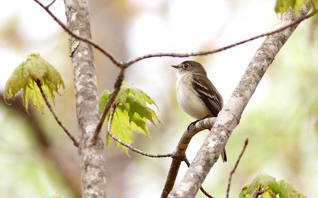 A least flycatcher (Photo by Fyn Kynd on Flickr, Creative Commons license)