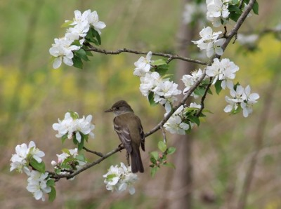 A willow flycatcher (Photo by Mark Bonta)