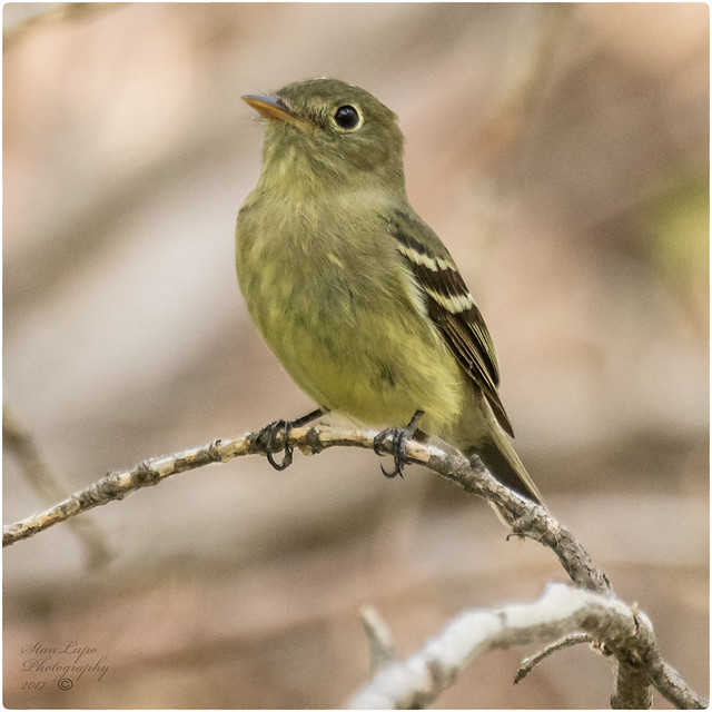 A yellow-bellied flycatcher (Photo by Stan Lupo on Flickr, Creative Commons license)