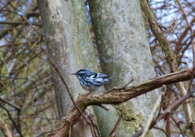 A black and white warbler in Plummer's Hollow (Photo by Mark Bonta)