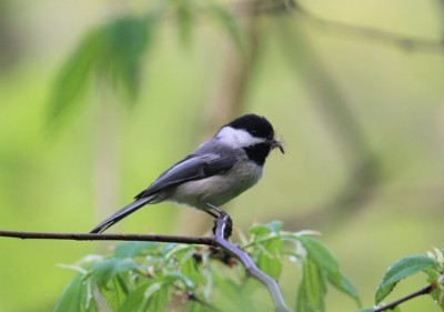 A black-capped chickadee in Plummer's Hollow (Photo by Mark Bonta)
