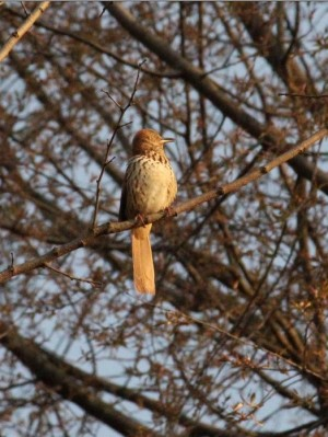 A brown thrasher in Plummer's Hollow (Photo by Mark Bonta)