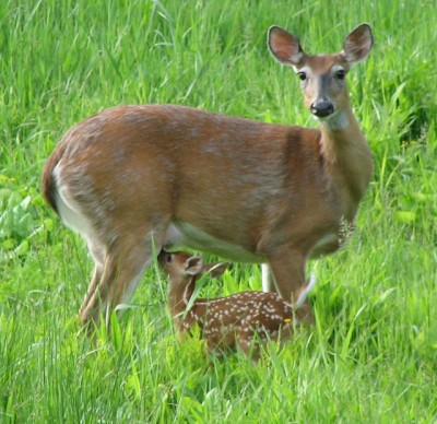A fawn nursing (Photo by James St. John on Flickr, Creative Commons license)