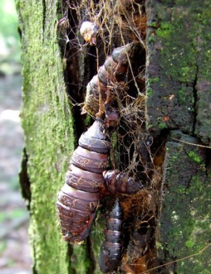 Dave's photo of gypsy moth cocoons (On Flickr)