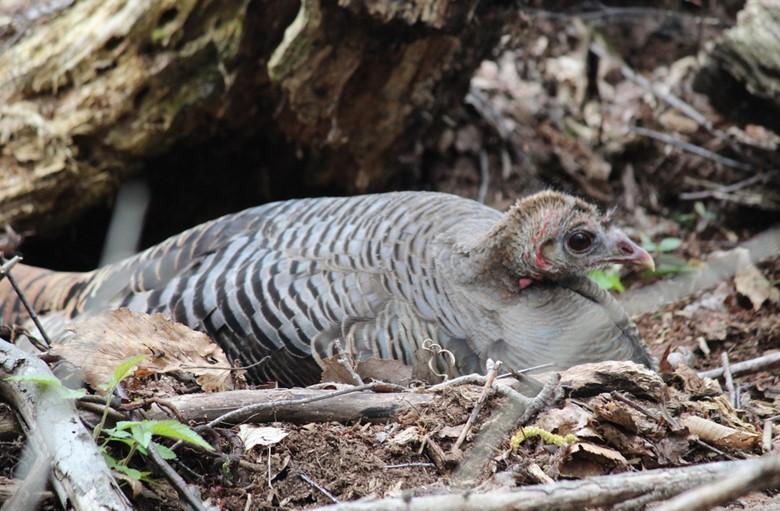 A hen turkey on her nest (Photo by Mark)