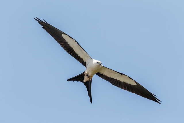A swallow-tailed kite in flight (Photo by Andy Morffew on Flickr, Creative Commons license)