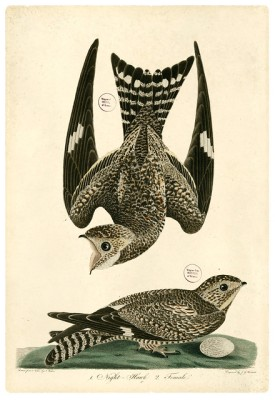 Nighthawk courtship flight, illustrated by Alexander Wilson in 1829