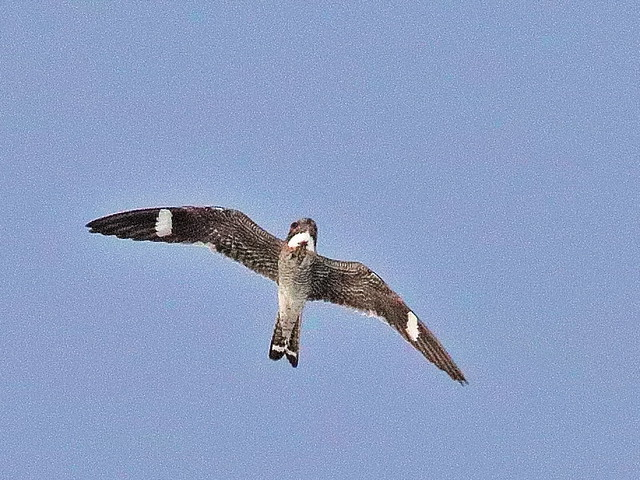 A common nighthawk flying (Photo by Kenneth Cole Schneider on Flickr, Creative Commons license)