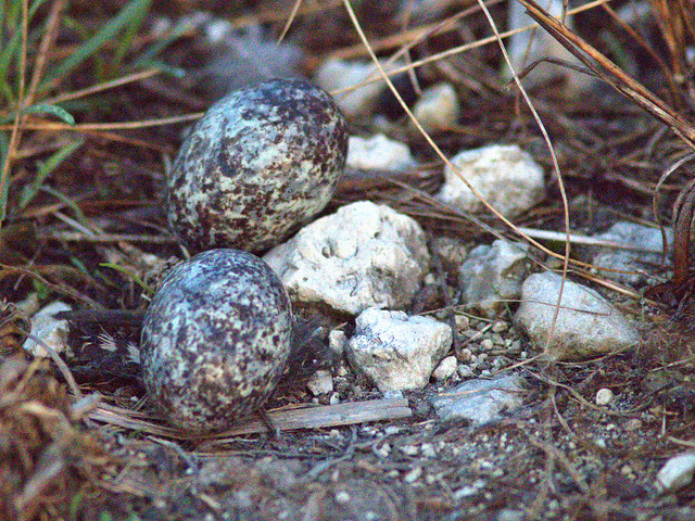 A common nighthawk nest (Photo by Kenneth Cole Schneider on Flickr, Creative Commons license)