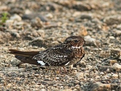 A common nighthawk on the ground (Photo by Kenneth Cole Schneider on Flickr, Creative Commons license)