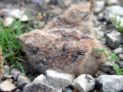 Common nighthawk young in their nest (Photo by Clinton & Charles Roberts on Flickr, Creative Commons license)