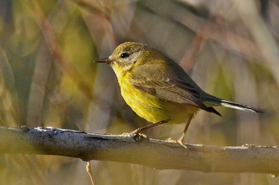 An immature female prairie warbler (Photo by Linda Tanner on Flickr, Creative Commons license)